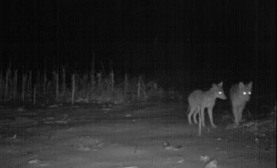 night-coyote-hunting-tips