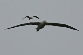 Royal-Albatros-with-a-seagull