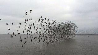shorebirds-flight2