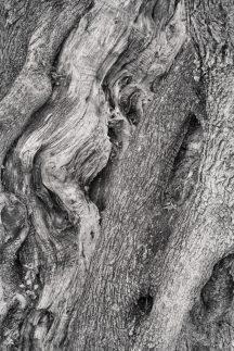 Old-Olive-Tree-683x1024.jpg